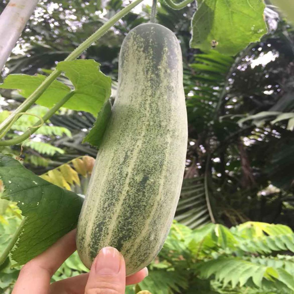 MY Vegetable Patch homegrown cucumber