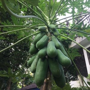 MY Vegetable Patch homegrown papaya