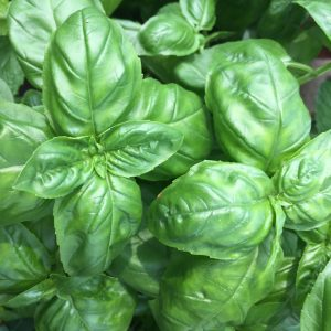 MY Vegetable Patch potted sweet basil
